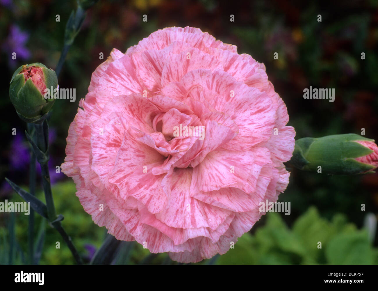 Dianthus strawberries and cream pink carnation flower flowers dianthus strawberries and cream pink carnation flower flowers garden plant plants mightylinksfo