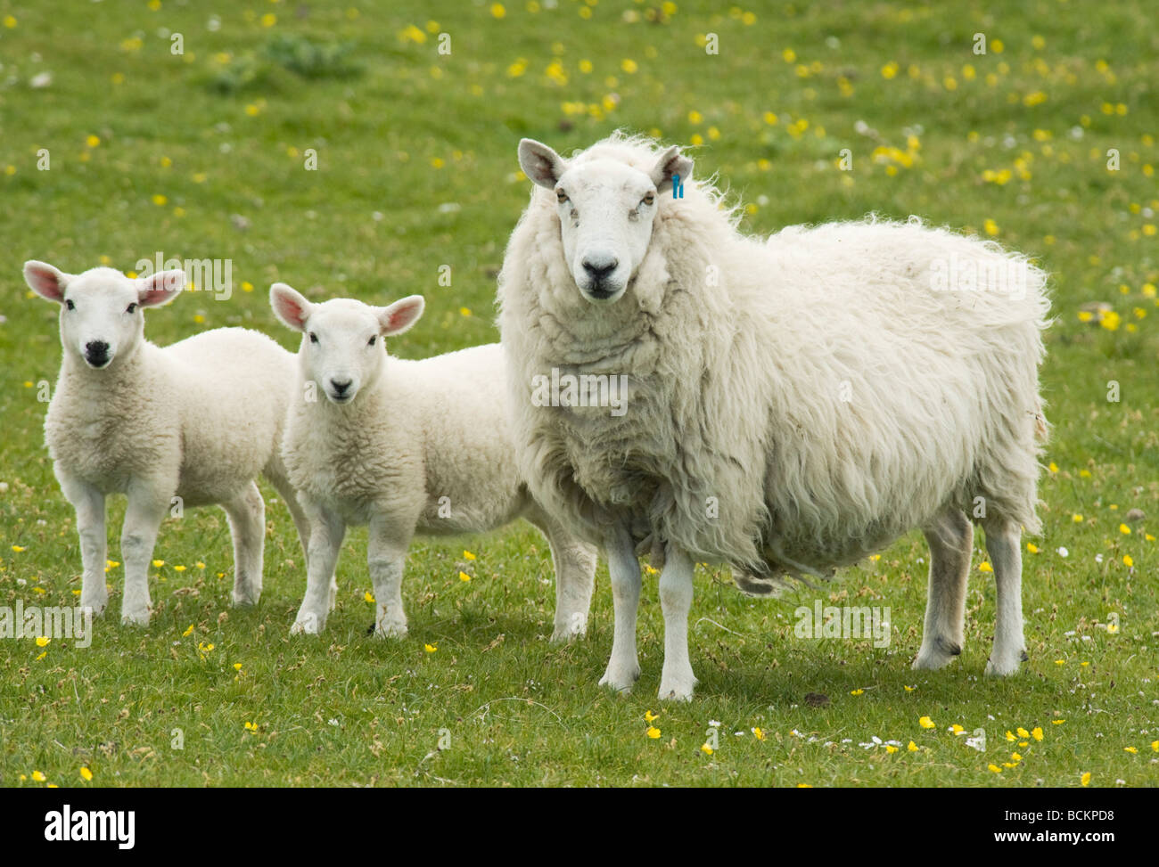 Sheep, Ewe with Lambs, June, Monach Isles, Outer Hebrides, Scotland - Stock Image