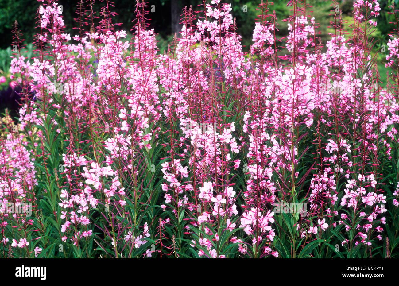 Epilobium Angustifolium Stahl Rose Growing In Border Pink Flower