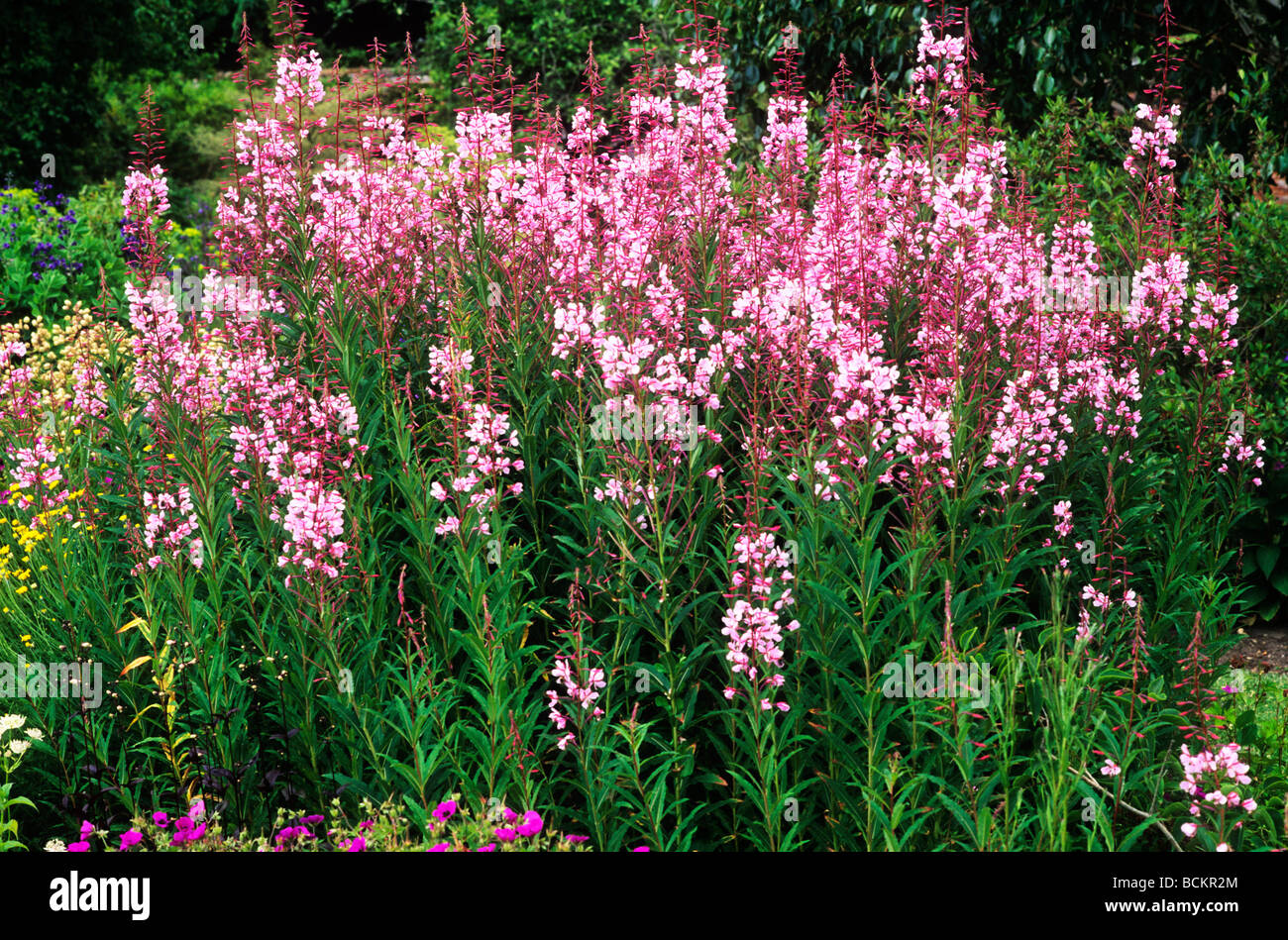 Epilobium angustifolium stahl rose growing in border pink flower epilobium angustifolium stahl rose growing in border pink flower flowers garden plant plants epilobiums mightylinksfo
