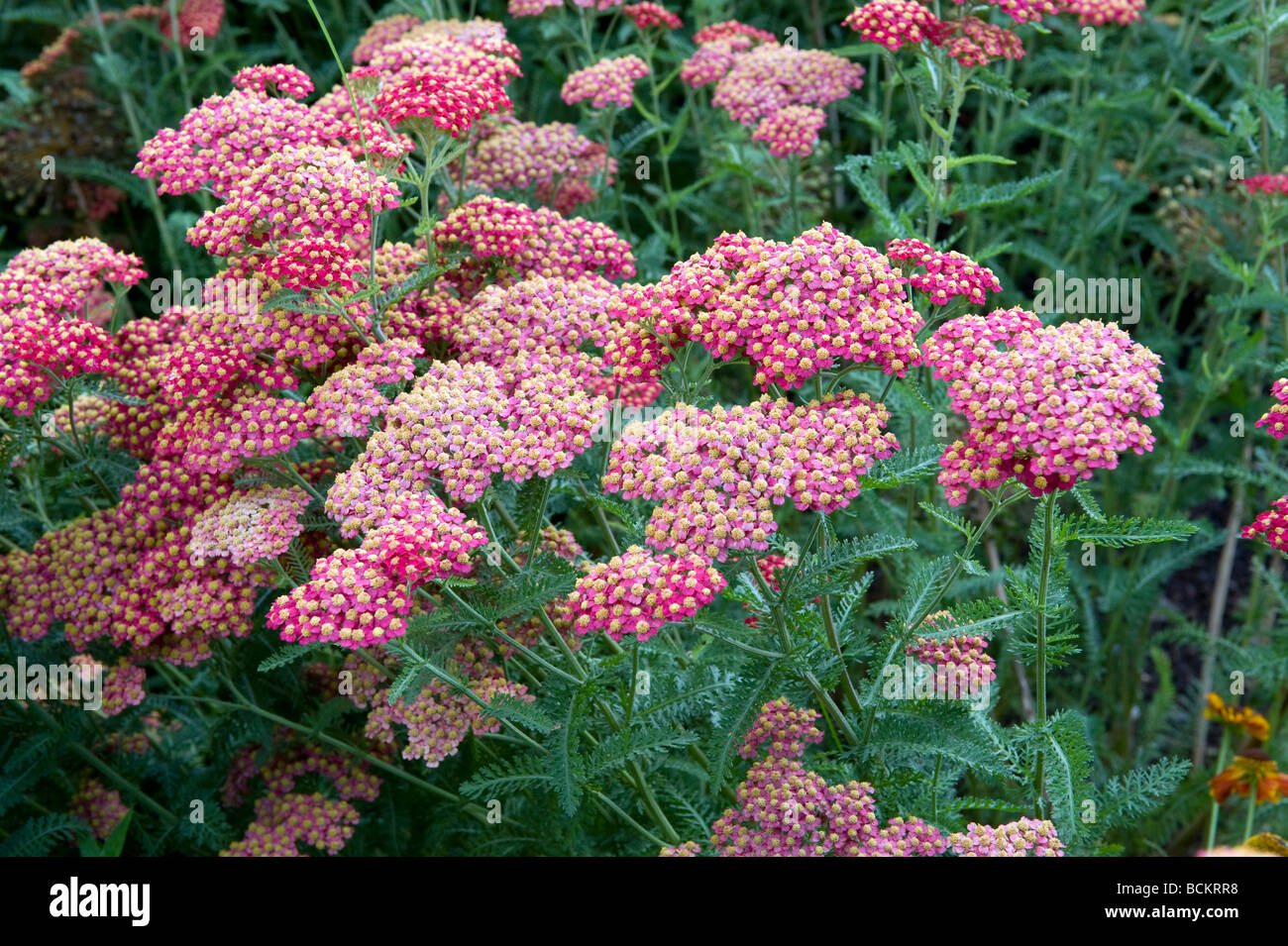 Asteraceae/Compositae Achillea millefolium `Cerise Queen`. Beautiful small pink flowers forming a larger flowerhead. - Stock Image