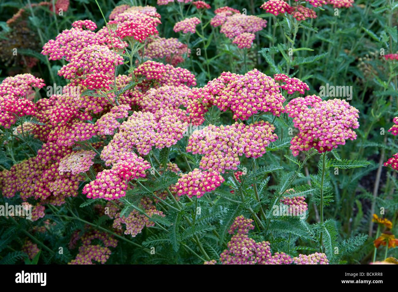Asteraceae/Compositae Achillea millefolium `Cerise Queen`. Beautiful small pink flowers forming a larger flowerhead. - Stock Image