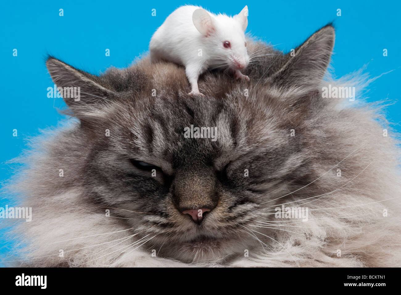 Mouse on top of cat's head - Stock Image