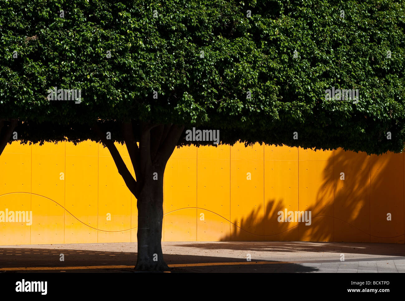 Trimmed yew tree and yellow wall Sydney Australia - Stock Image