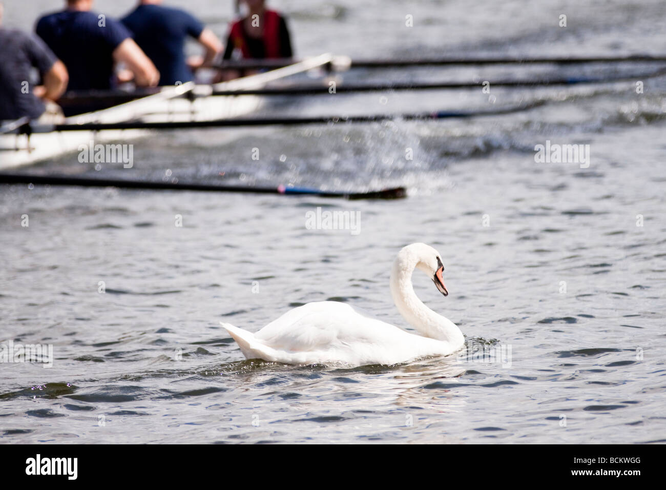 a swan on the River Thames in England swims out of the way of an oncoming rowing team - Kingston upon Thames regatta - Stock Image