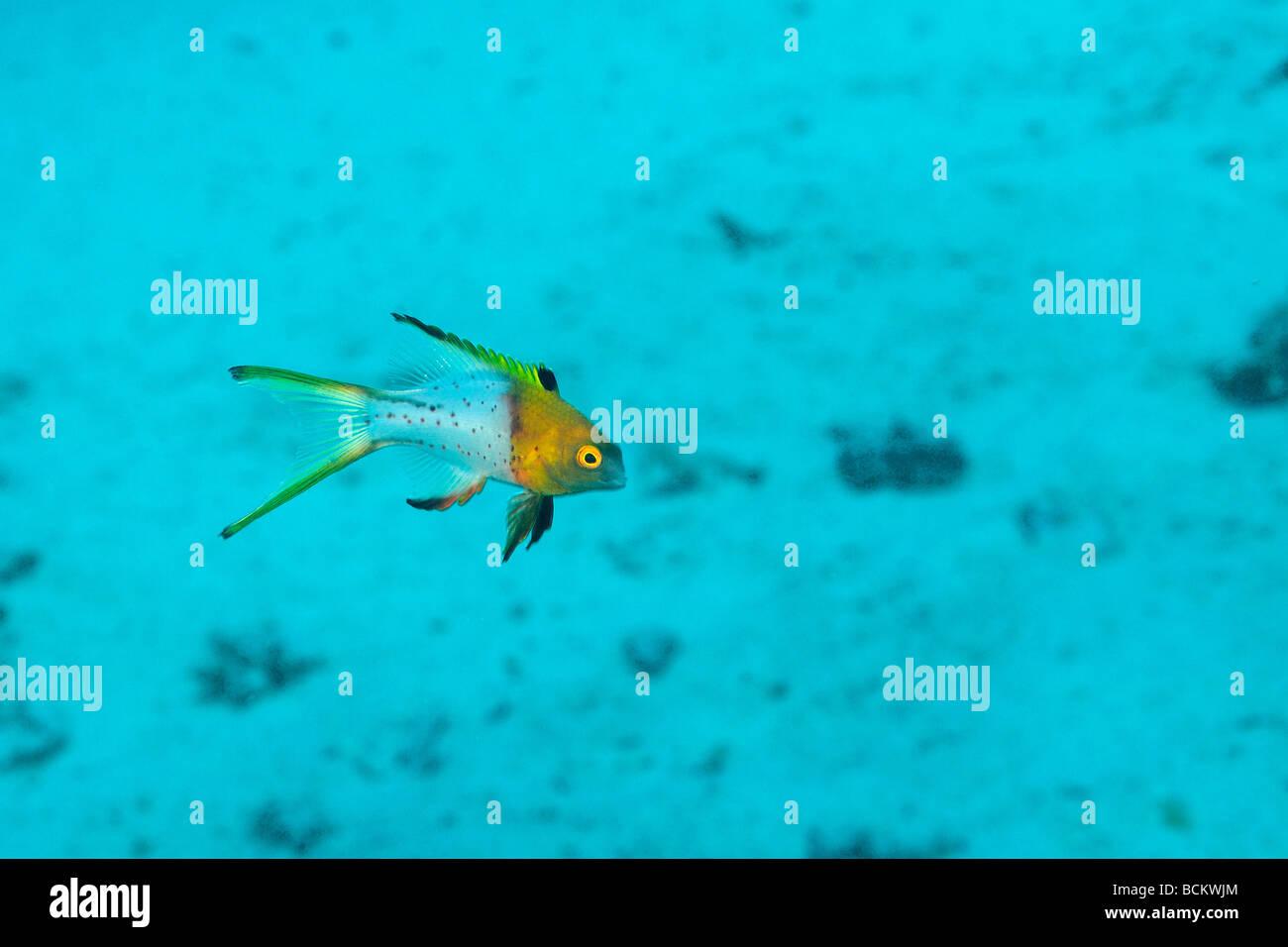 Lyretail hogfish, juvenile, off Safaga, Egypt. - Stock Image