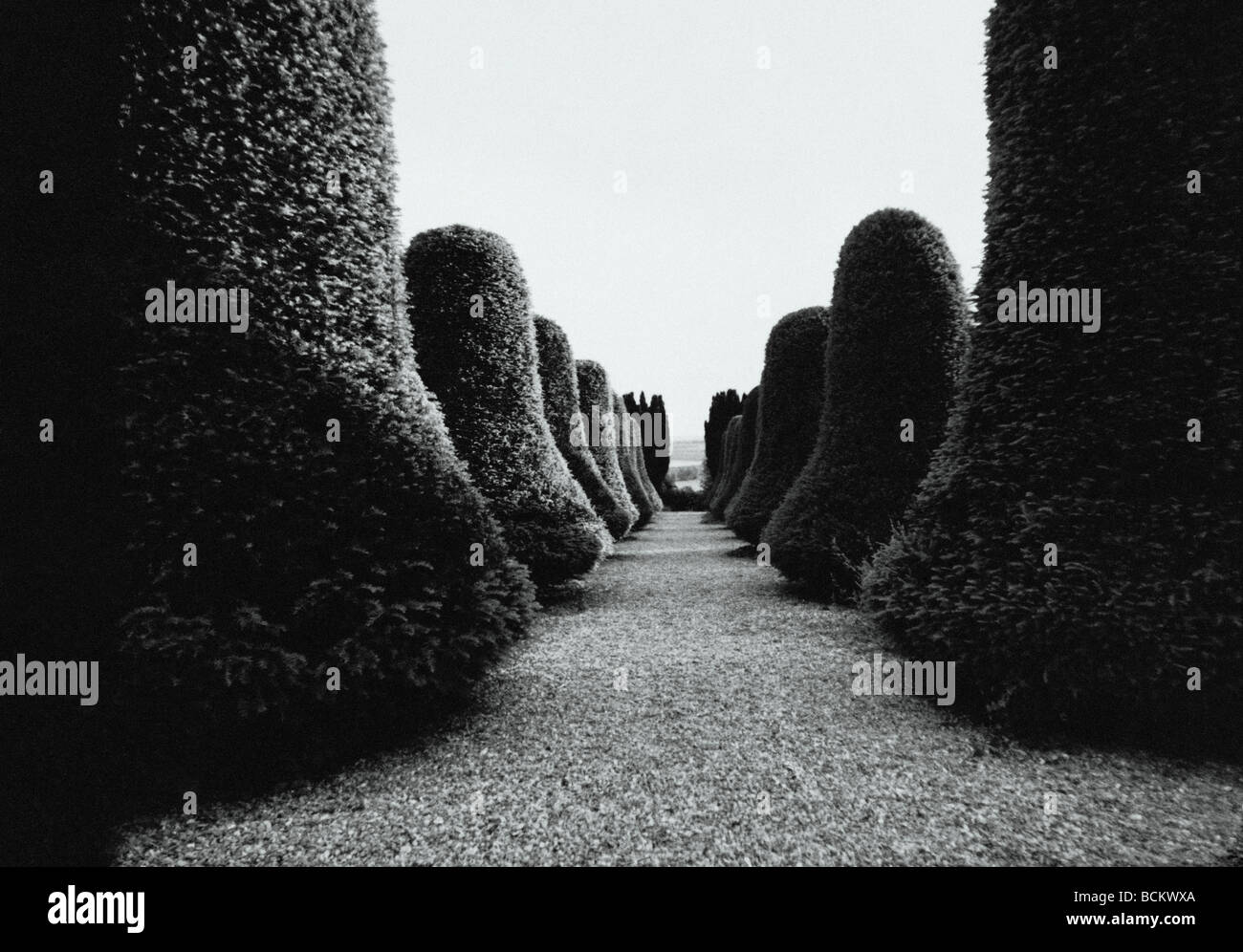 Rows of topiary hedges, b&w - Stock Image