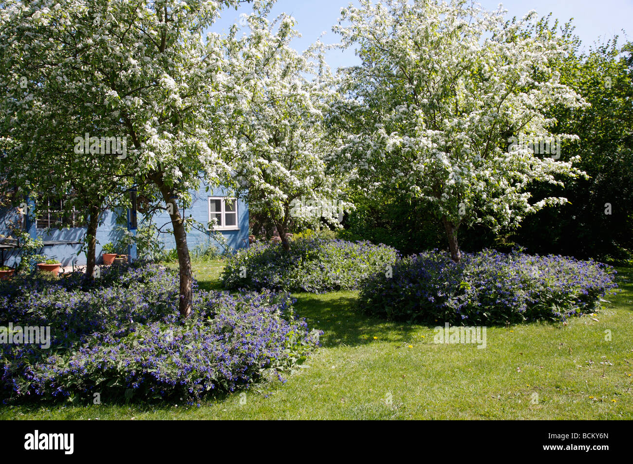 Fruit Trees With White Blossom In Small Orchard Under Planted With