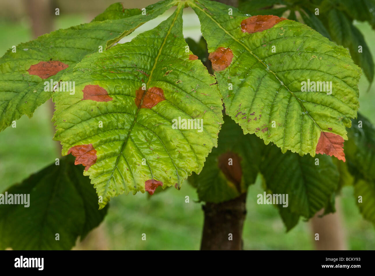 Leaf blotch spots on a horse chestnut leaf - Stock Image