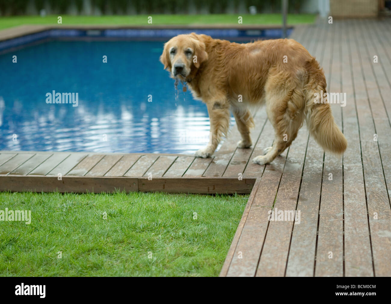 Golden retriever standing by edge of swimming pool, looking at camera - Stock Image