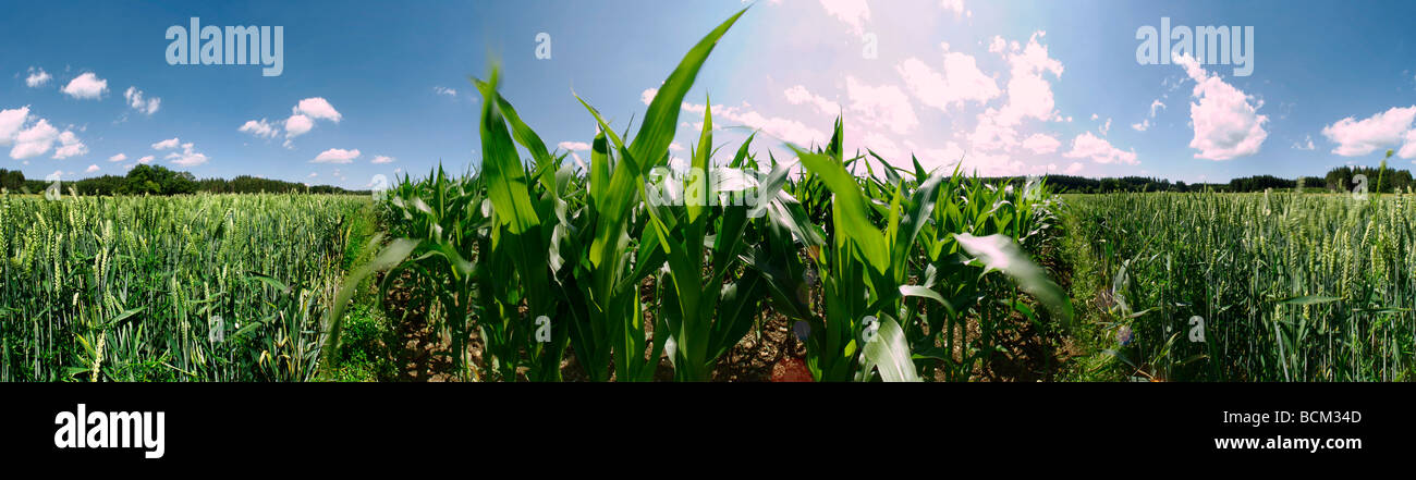 Corn and wheat growing in field - Stock Image