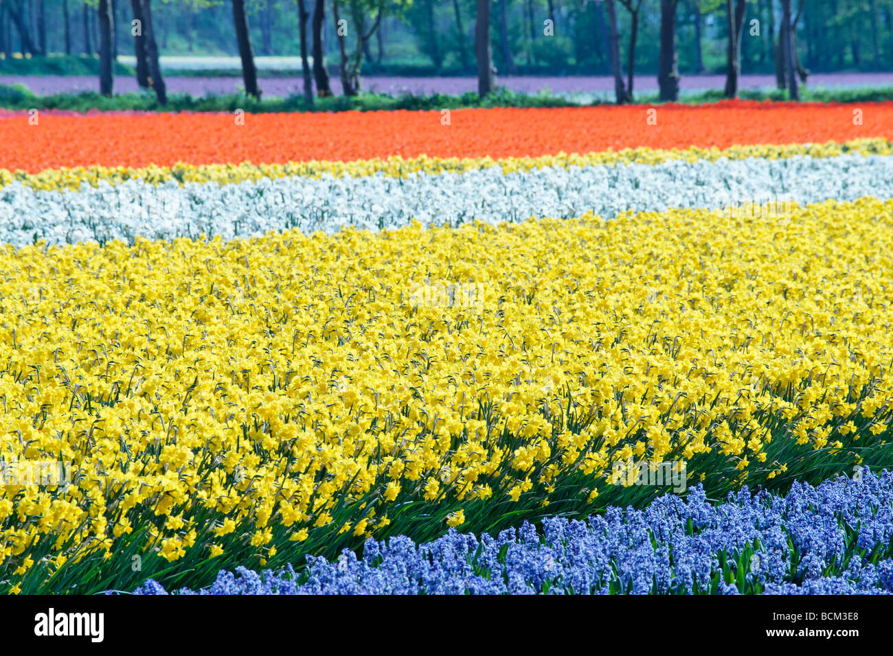 Tulips, daffodils and hyacinths in the fields of the Bollenstreek, South Holland, The Netherlands. - Stock Image