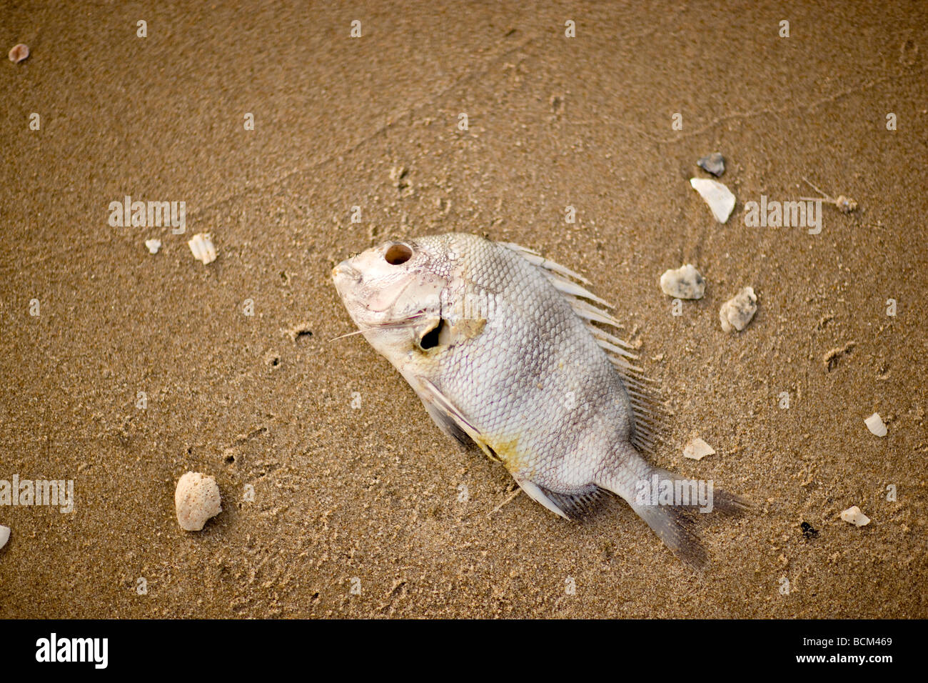 Dead Fish lying on the beach - Stock Image