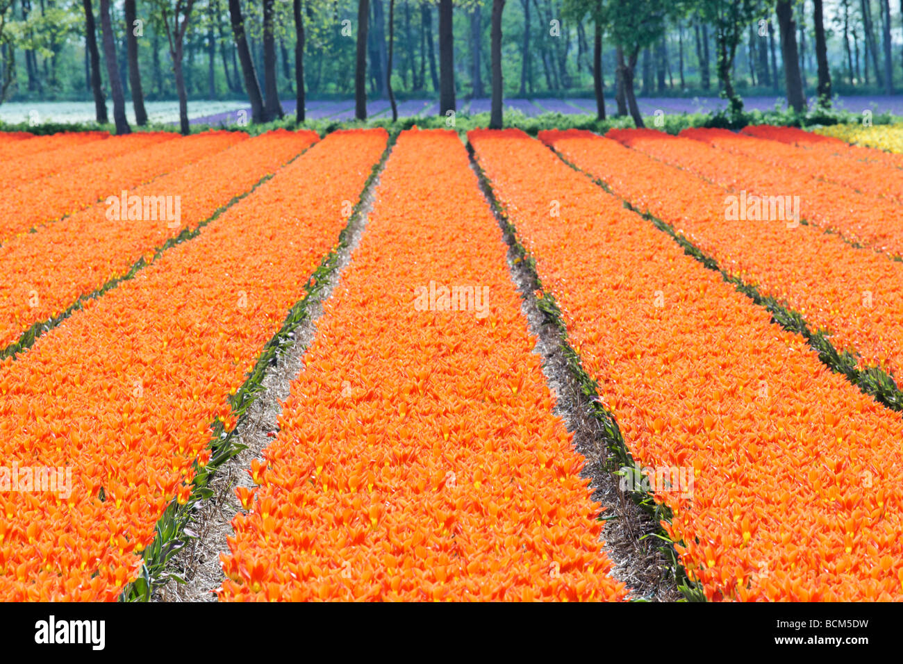 Tulip fields of the Bollenstreek, South Holland, Netherlands - Stock Image