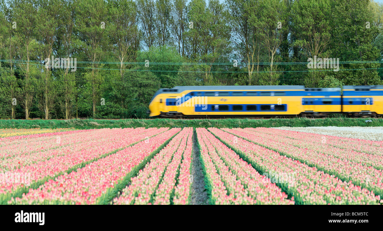 A Dutch Railways train speeding by a tulip field Blooenstreek, South Holland, Netherlands. - Stock Image