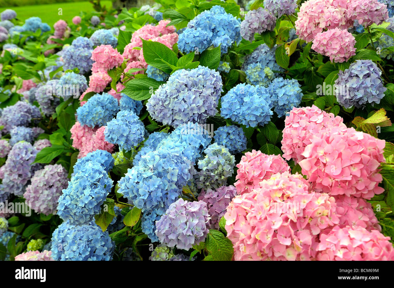 Hydrangea Bush Showing Both Pink And Blue Flowers Stock Photo