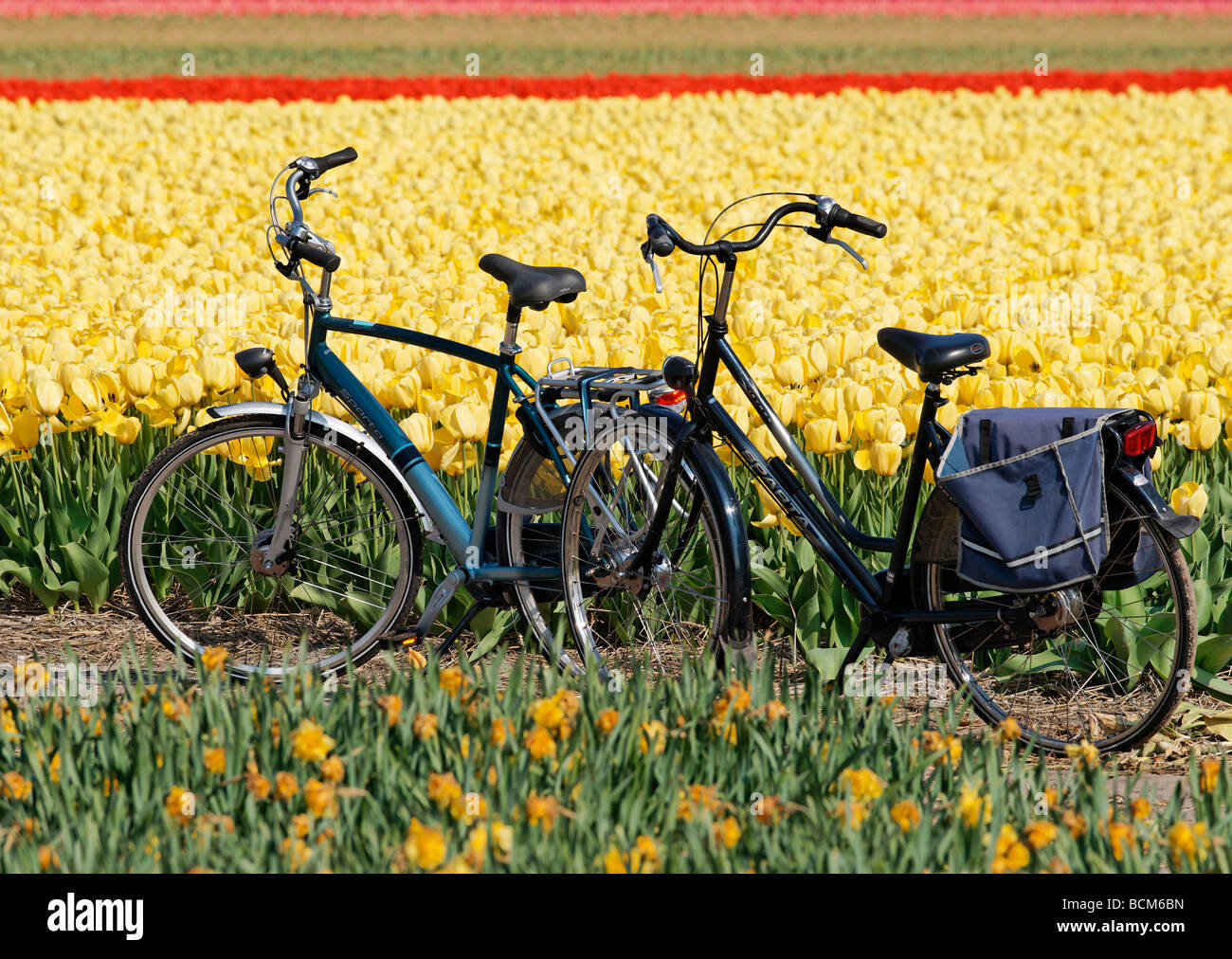 Two bicycles in the tulip fields of the Bollenstreek, South Holland, Netherlands - Stock Image