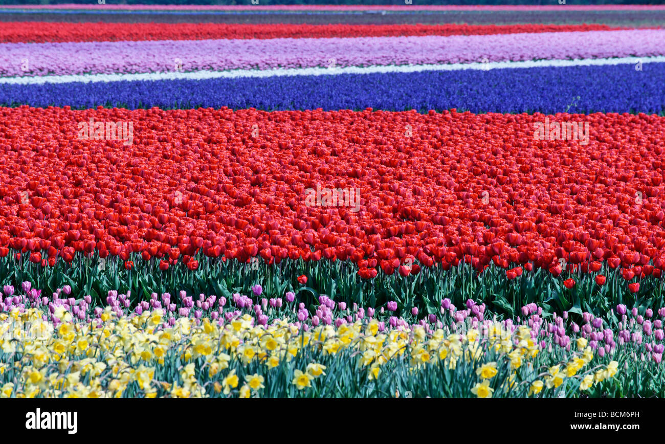 Tulip fields of the Bollenstreek, South Holland, The Netherlands. Focus on main block of red tulips - Stock Image
