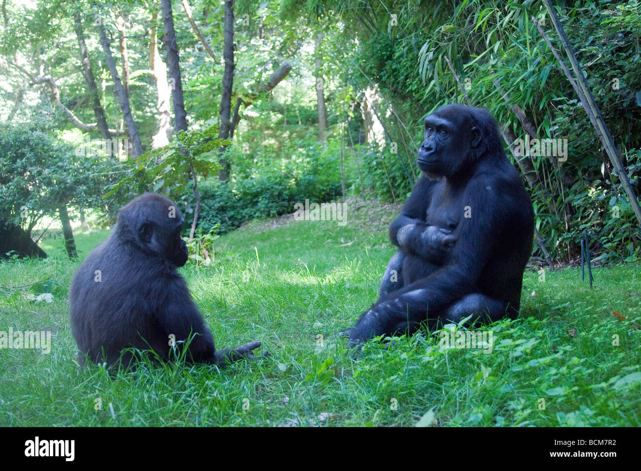 Congo Gorilla Forest, Bronx Zoo, The Bronx, New York City