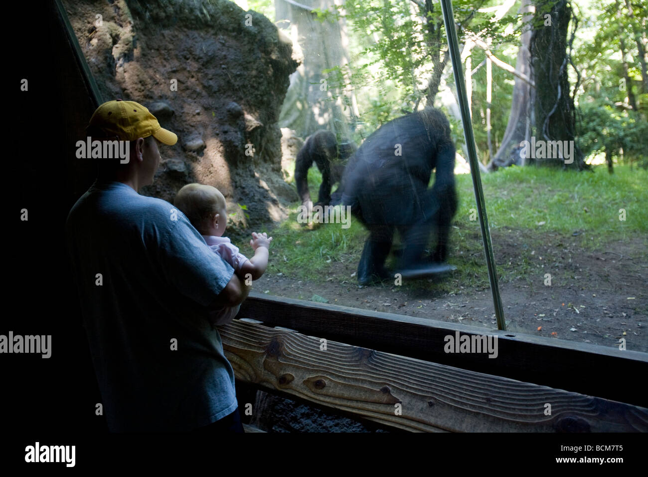 Congo Gorilla Forest Bronx Zoo The Bronx New York City Usa Stock