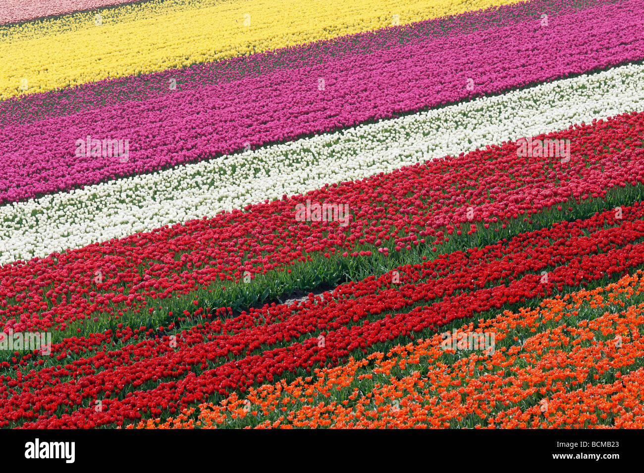 Tulip field in North Holland, Netherlands - Stock Image