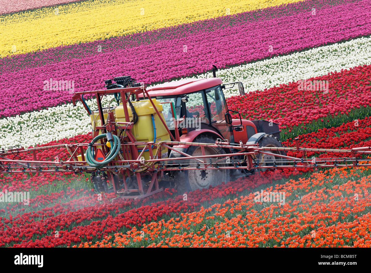 Tractor spraying tulips in North Holland, Netherlands. - Stock Image