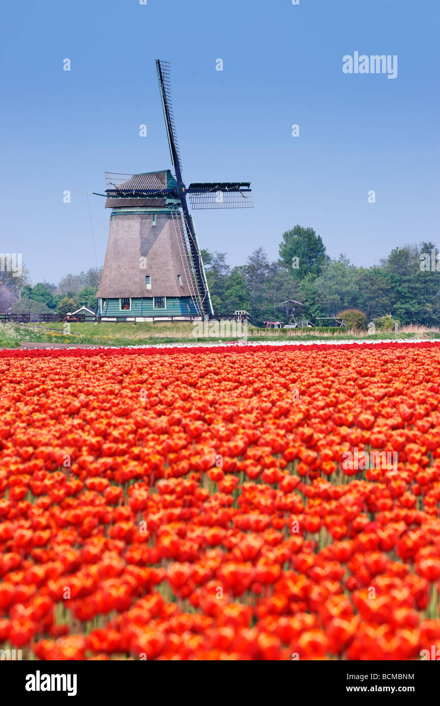 Polder windmill and red tulips near Alkmaar, North Holland, Netherlands. - Stock Image