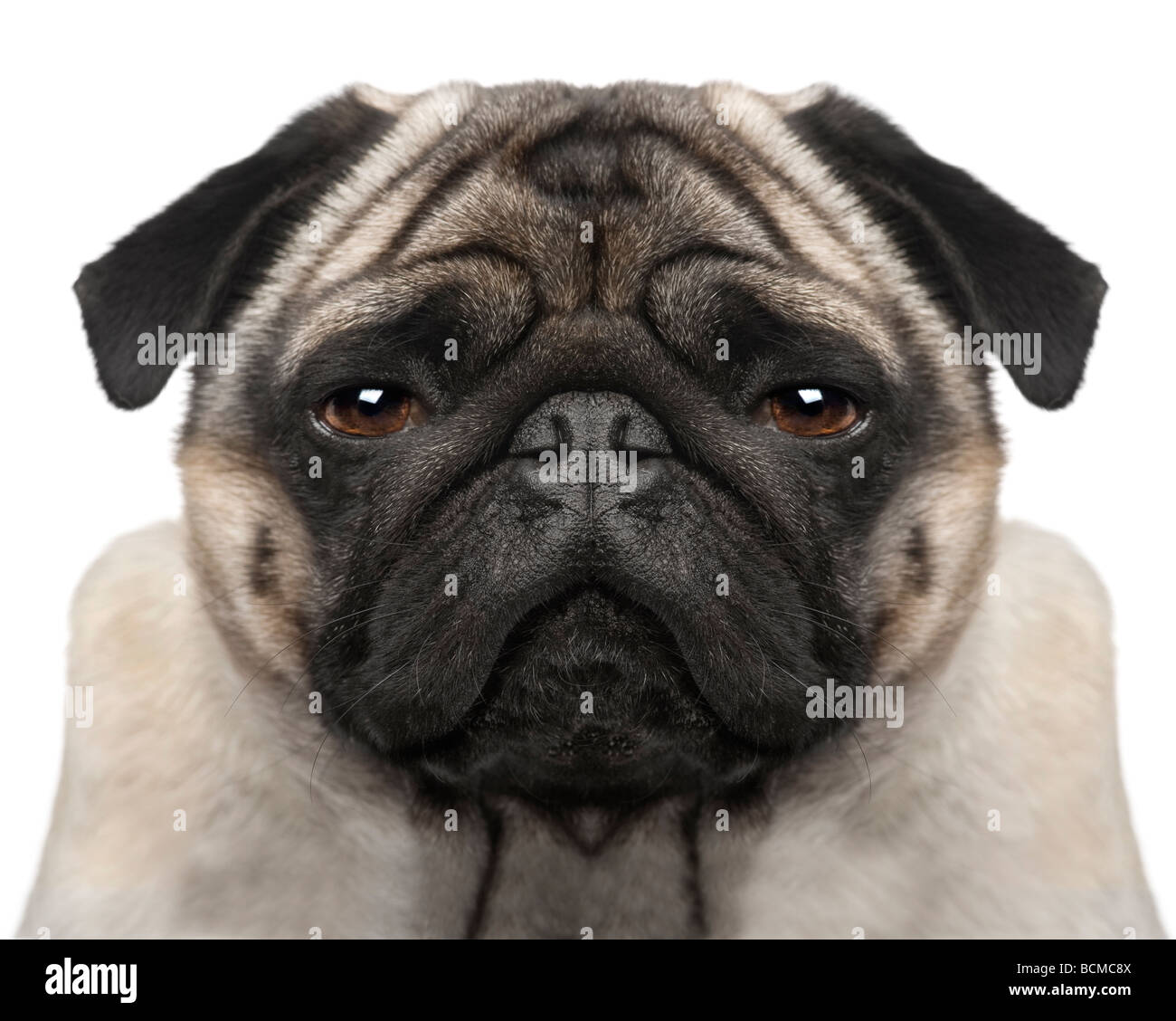 Pug, 4 years old, in front of a white background, studio shot - Stock Image