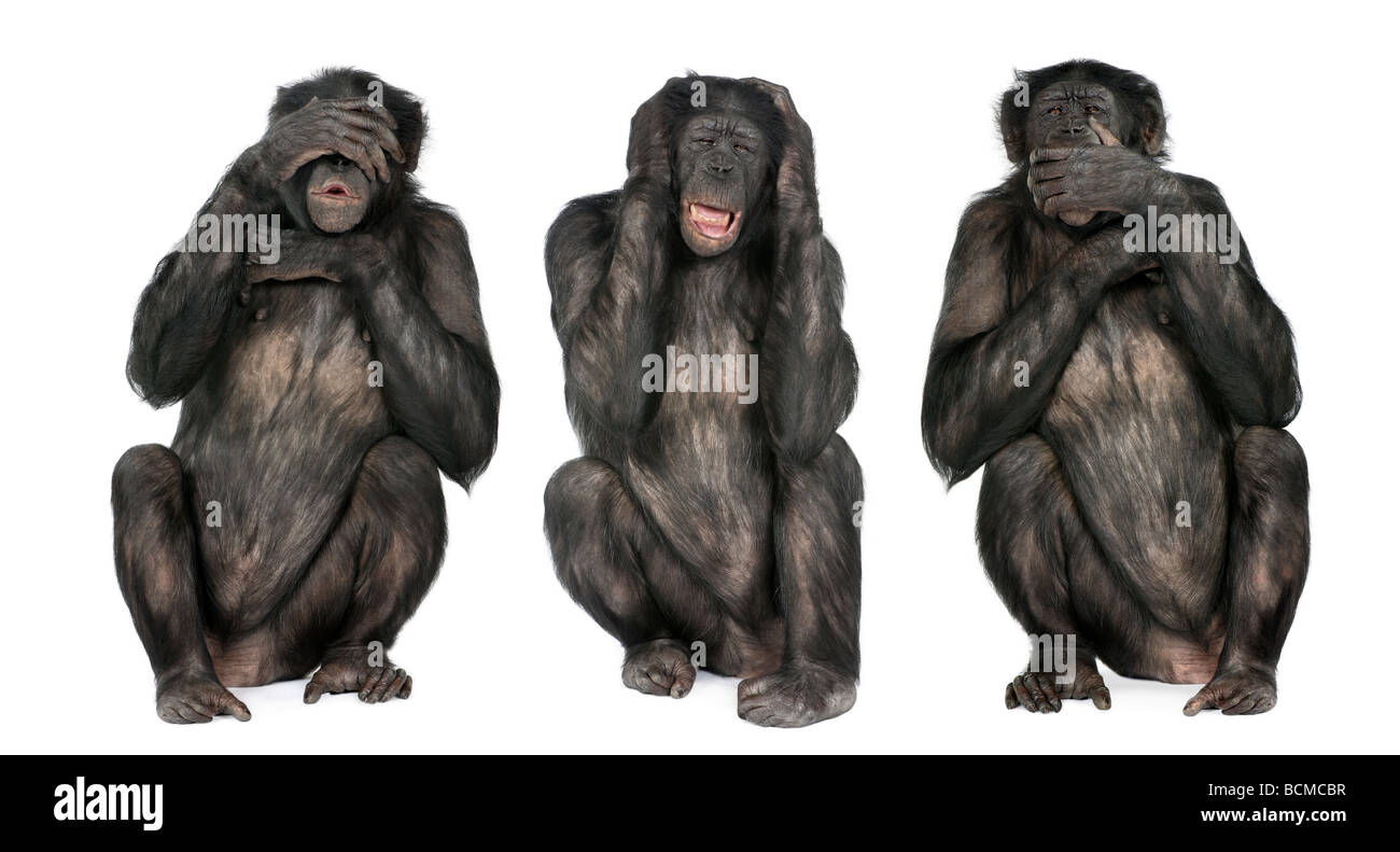 Three Wise Monkeys, Chimpanzee, Simia troglodytes, 20 years old, in front of a white background - Stock Image