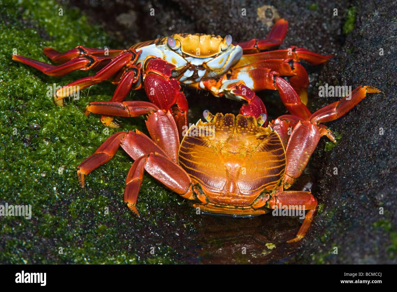 Sally lightfoot crabs Grapsus grapsus courtship behaviour Punta Espinosa Fernandina Island Galapagos Ecuador Pacific - Stock Image