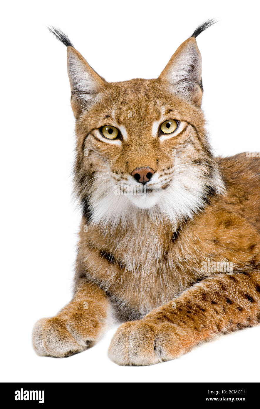 Eurasian Lynx, Lynx lynx, 5 years old, in front of a white background, studio shot - Stock Image