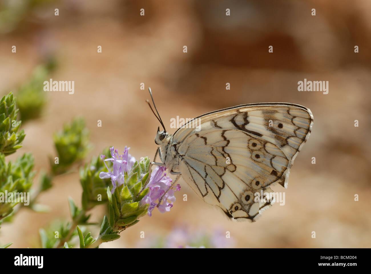 Balkan marbled white (Melanargia larissa) - Stock Image