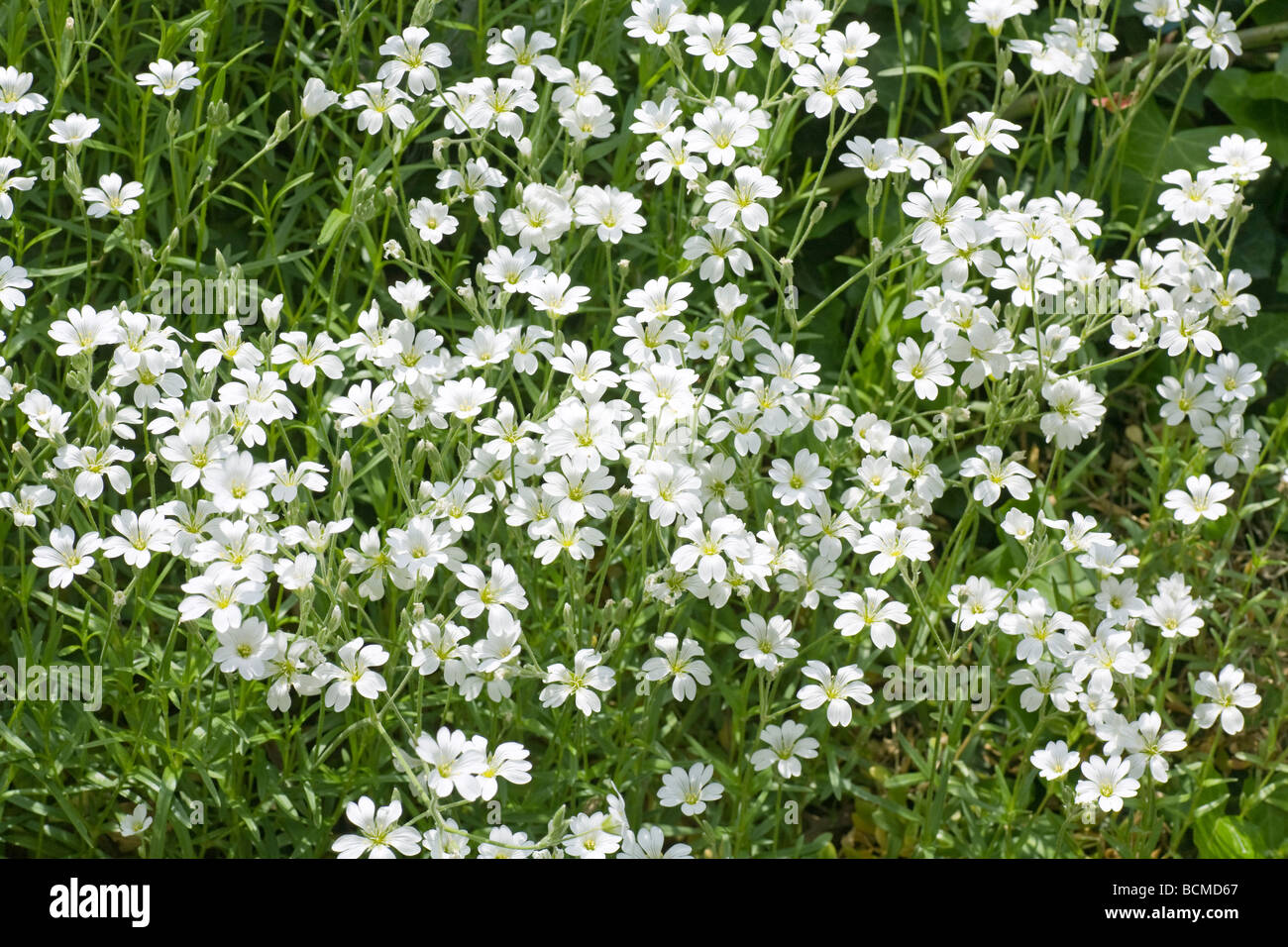 White Flowers On Flower Bed In Spring Park Background Stock Photo