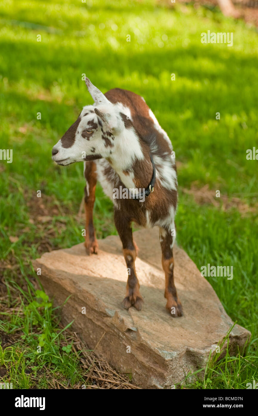 brown and white pygmy goat standing on a rock in the pasture - Stock Image