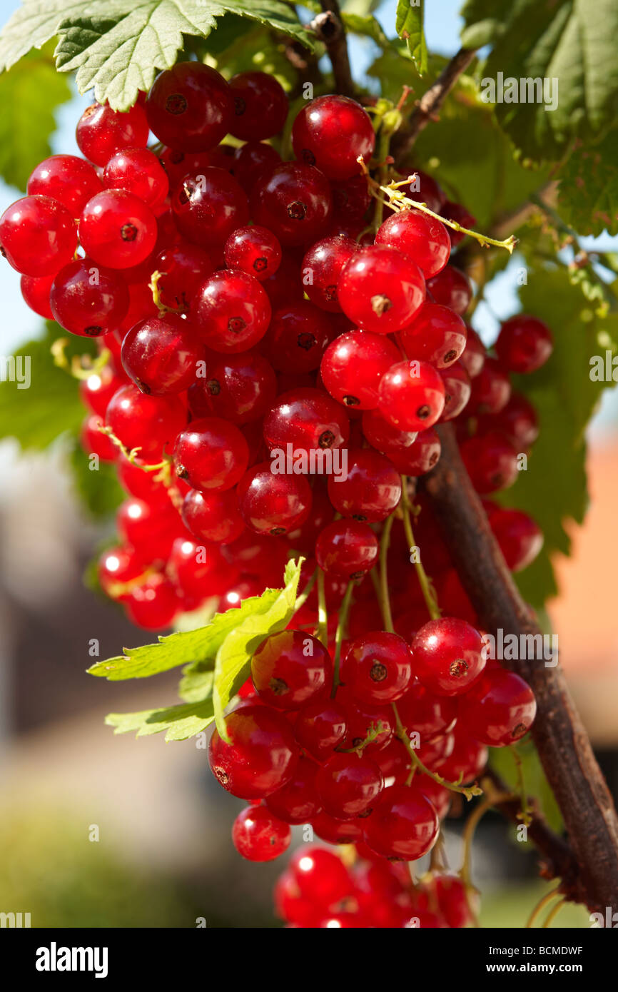Fresh Redcurrants on a Red Currant bush Stock Photo