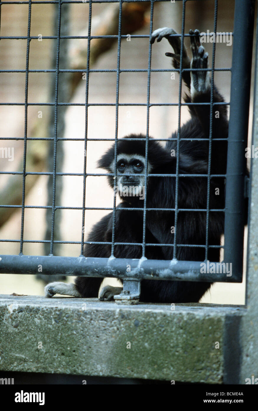Ape behind bars in zoo - Stock Image