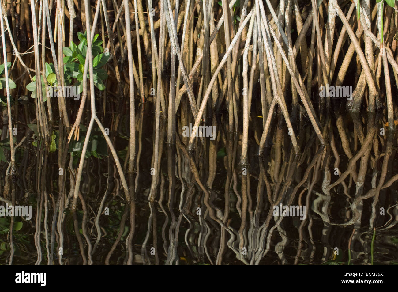 Red Mangrove prop roots Rhizophora mangle growing along the Saint Lucie River South Florida - Stock Image
