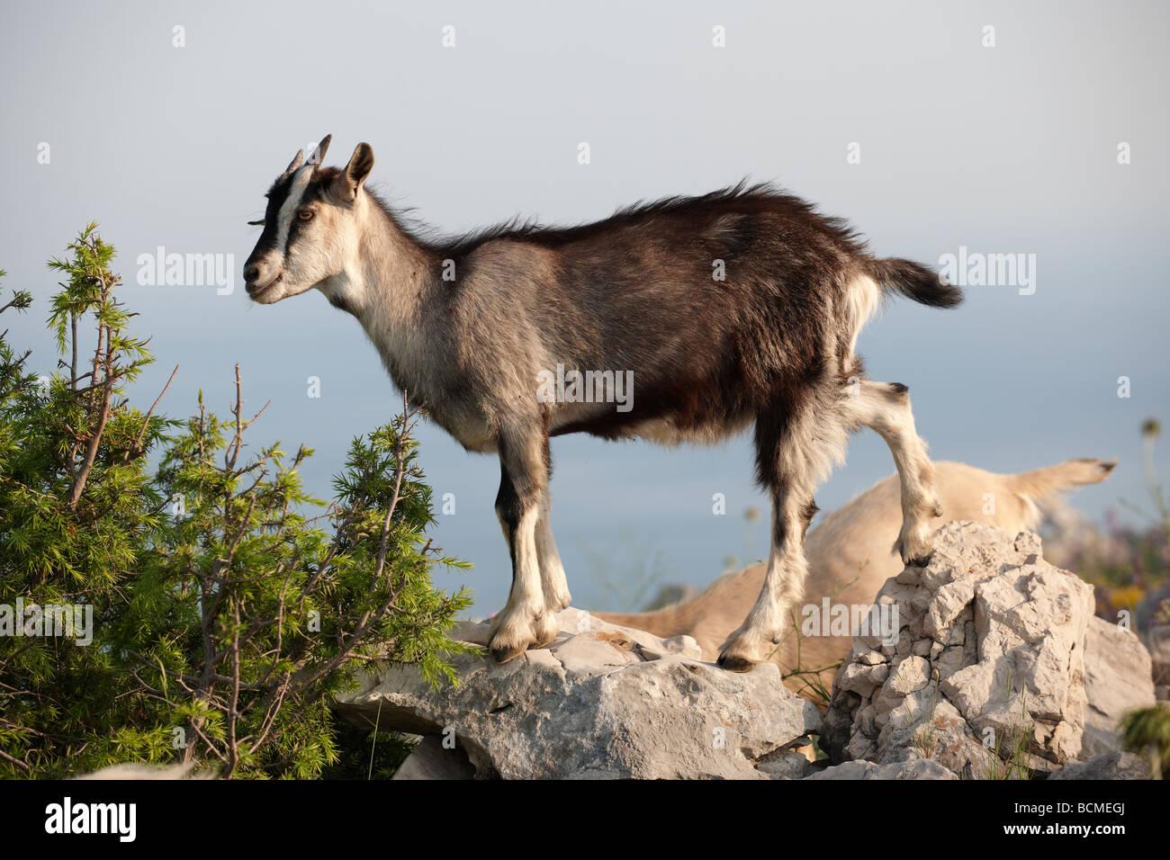 Mountain goats in the Dalamtian hills - Dubrovnik, Croatia - Stock Image