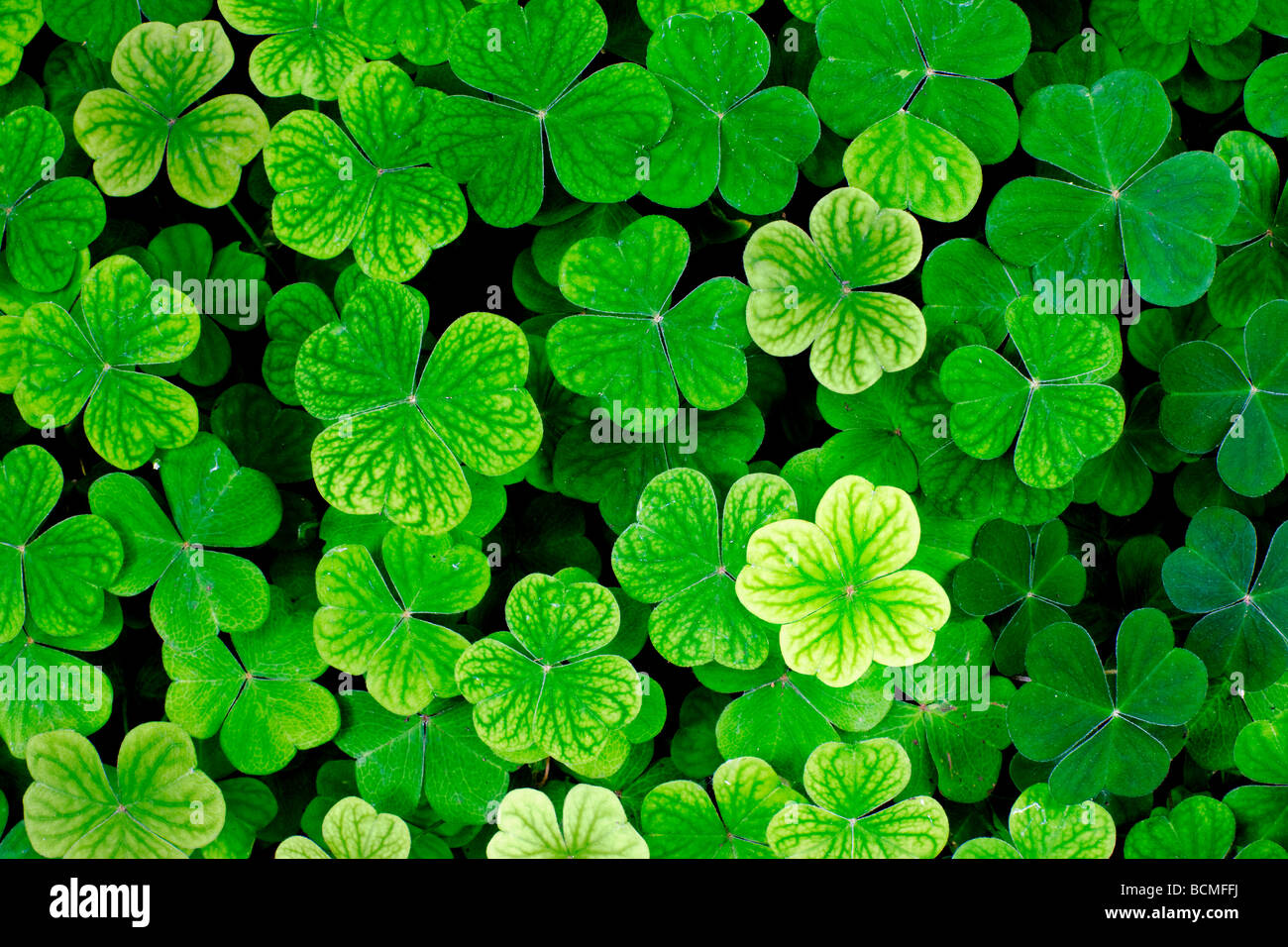 Four Leaf Clover Standing Out In A Bed Of Three Leaf Clover Stock