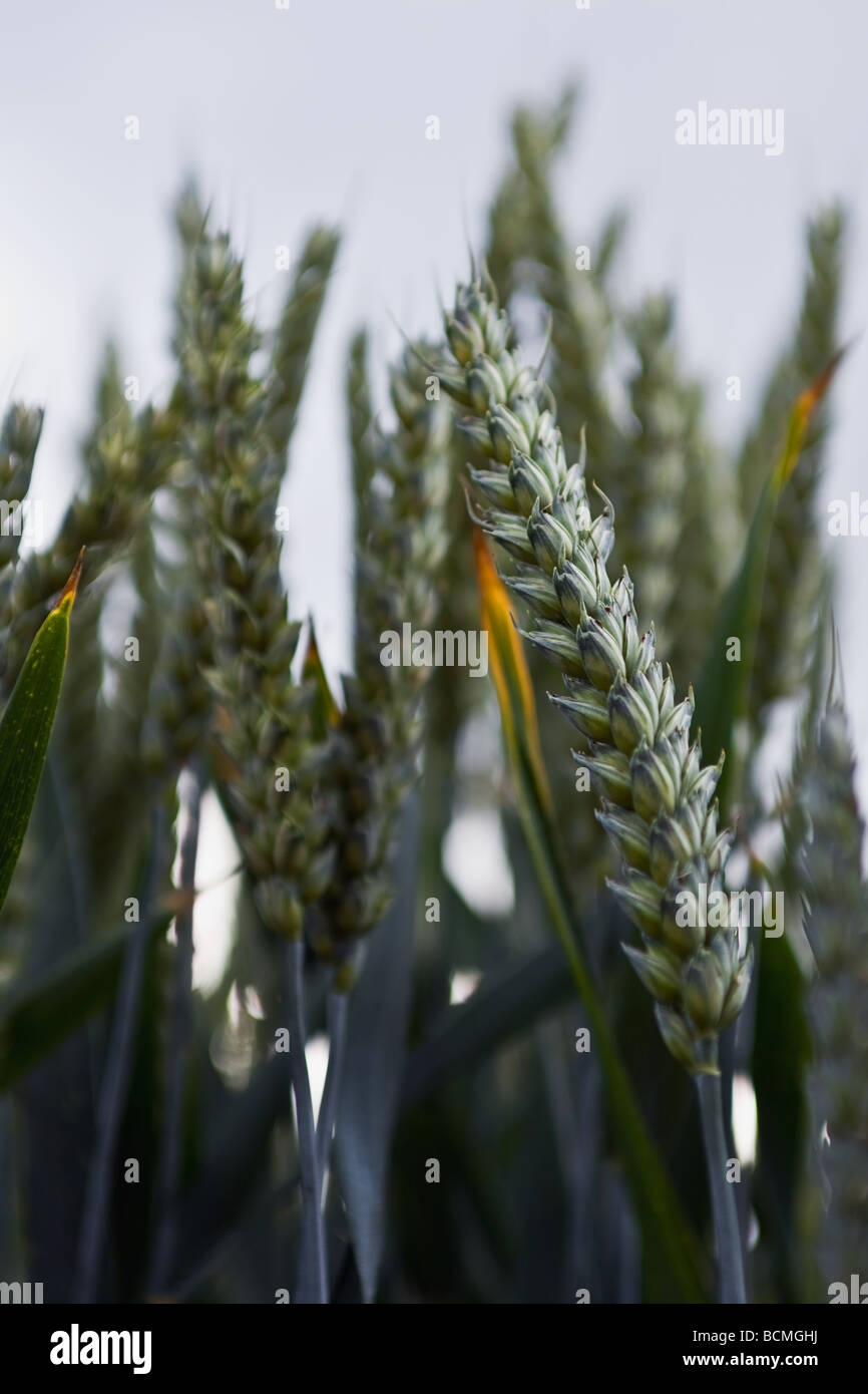 Photograph of some ears of corn against the sky. - Stock Image