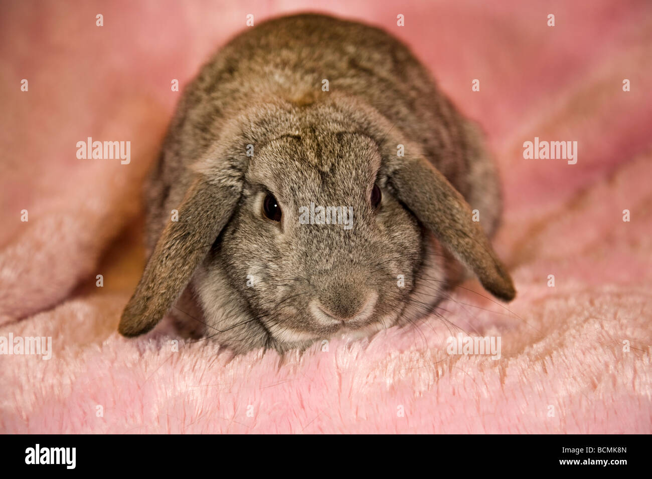 Portrait of a lop eared rabbit - Stock Image