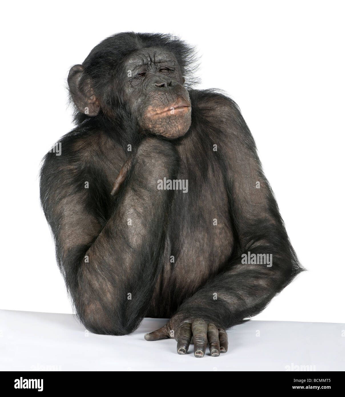 Thoughtful monkey at a table, Mixed Breed between Chimpanzee and Bonobo, 20 years old, in front of a white background - Stock Image