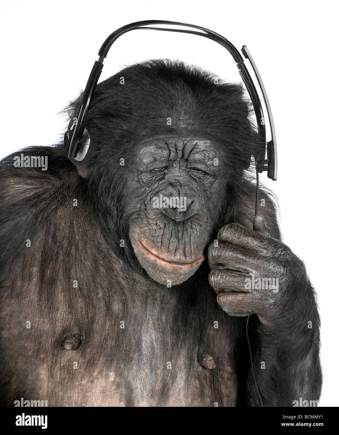 Monkey, Mixed Breed between Chimpanzee and Bonobo, 20 years old, listening to music on headphones in front of white - Stock Image