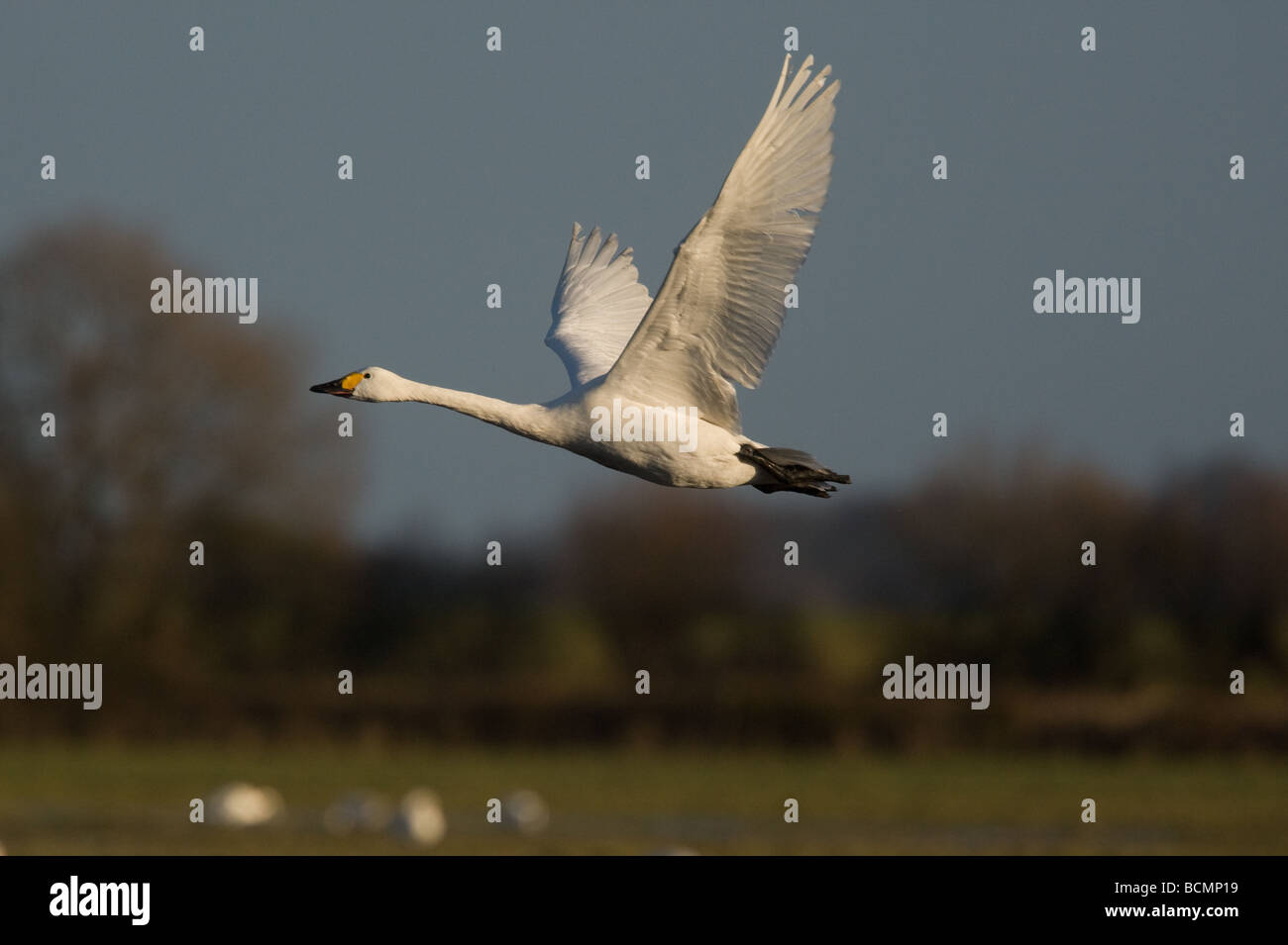 A Bewick's Swan (cygnus columbianus) in flight in front of fields and trees at Slimbridge, UK Stock Photo
