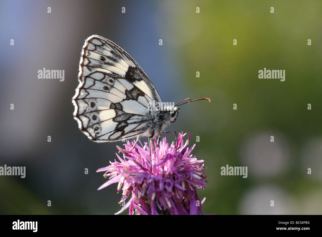 Marbled White Butterfly, Melanargia galathea - Stock Image