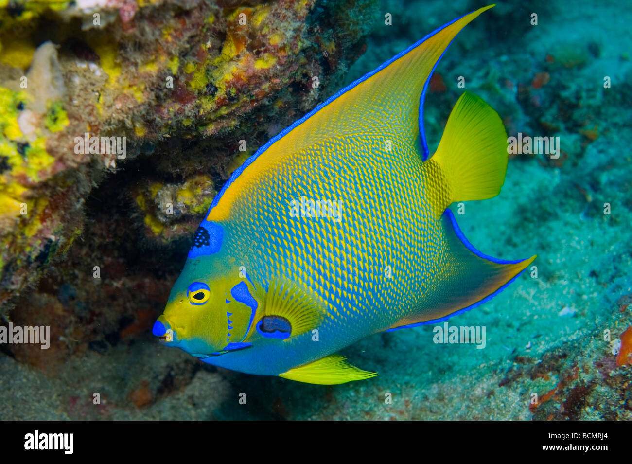 Queen Angelfish (Holacanthus ciliaris) photographed in the Breakers Reef in Palm Beach, FL - Stock Image