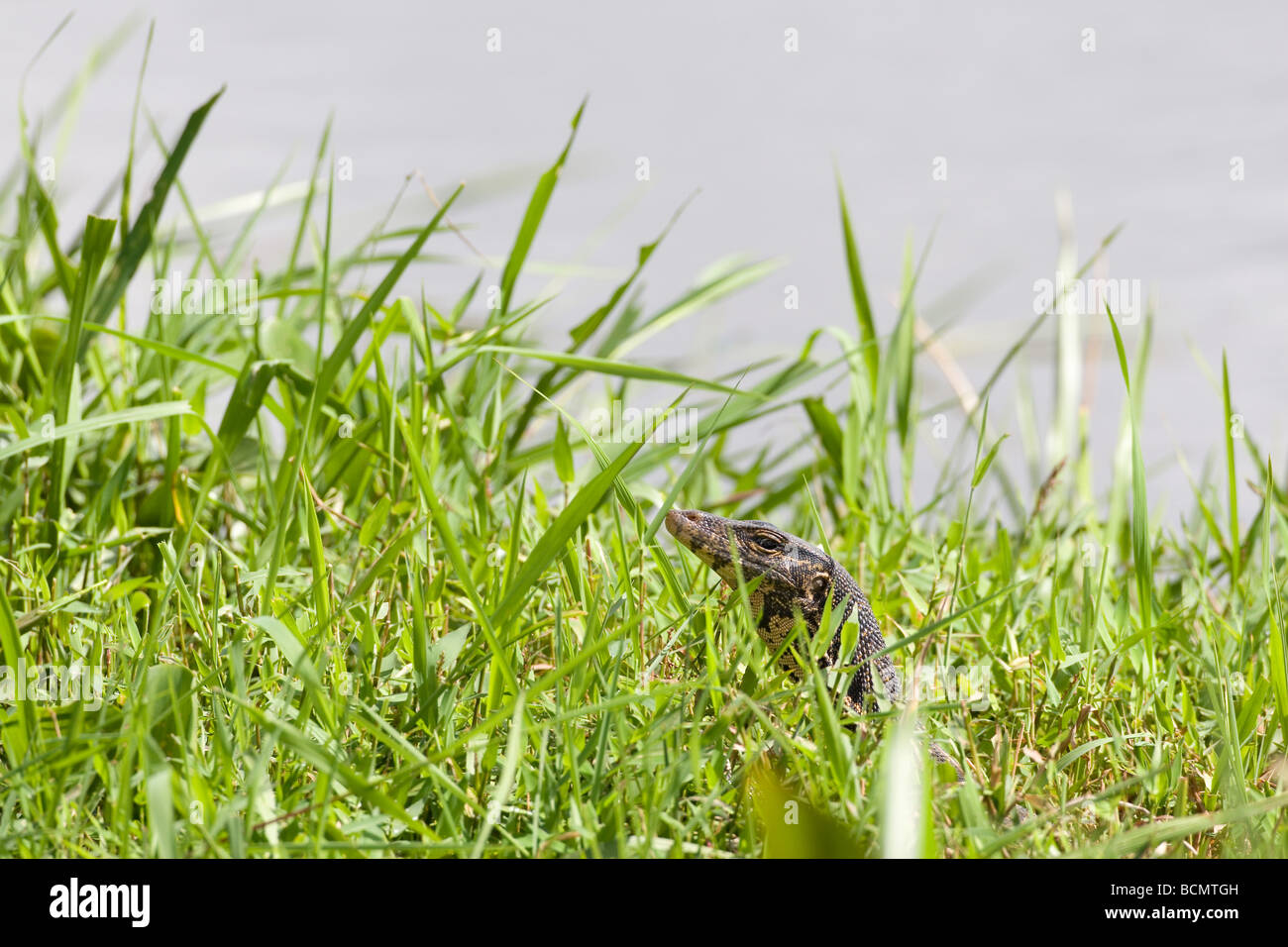 A monitor lizard hiding in tall grass cautiously raises its head and peers out. - Stock Image