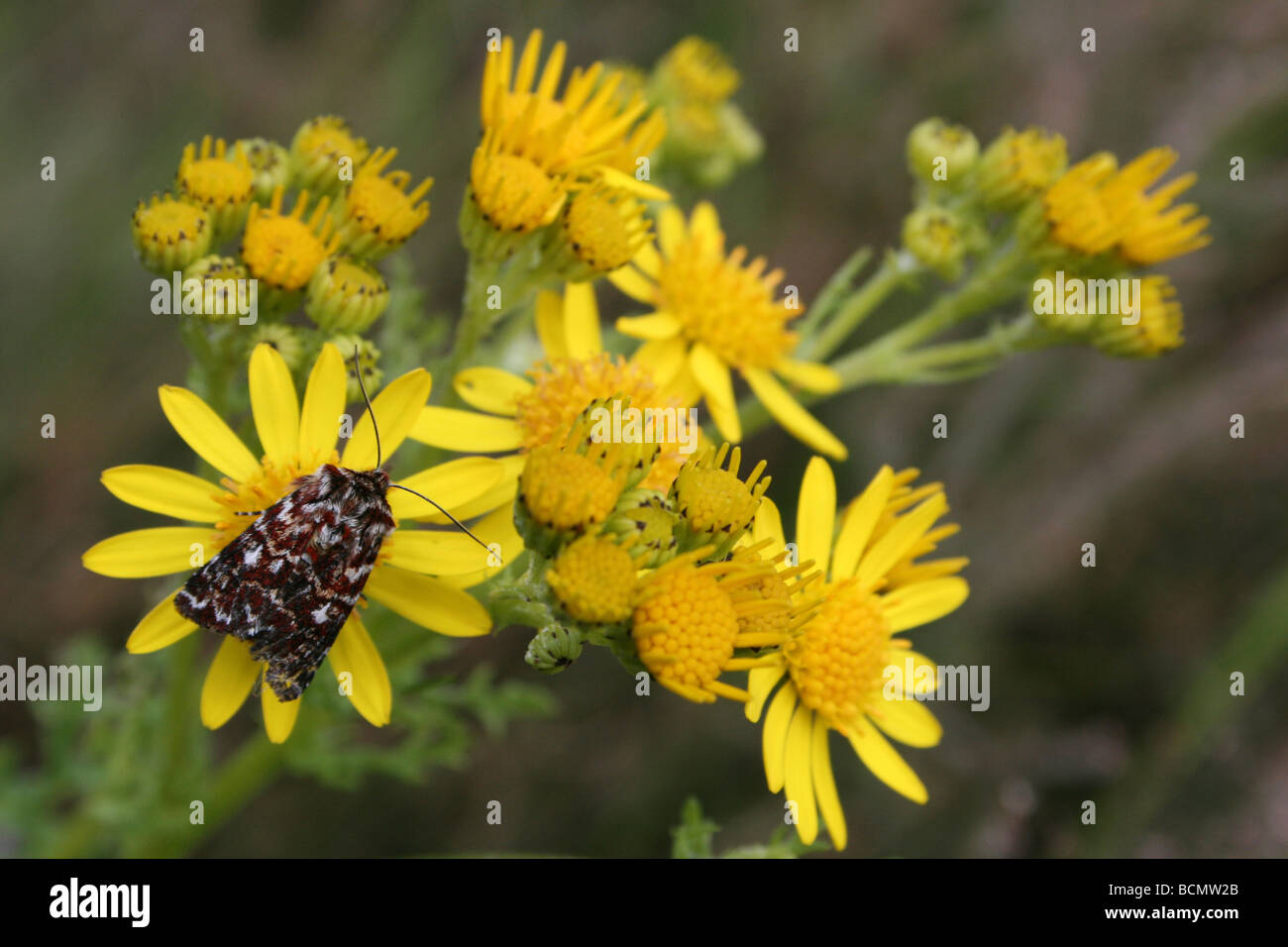 True Lover's Knot Moth Lycophotia porphyrea On Oxford Ragwort Cannock Chase, England, UK - Stock Image