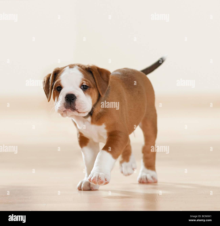 Continental Bulldog Puppy Walking Cut Out Stock Photo Alamy