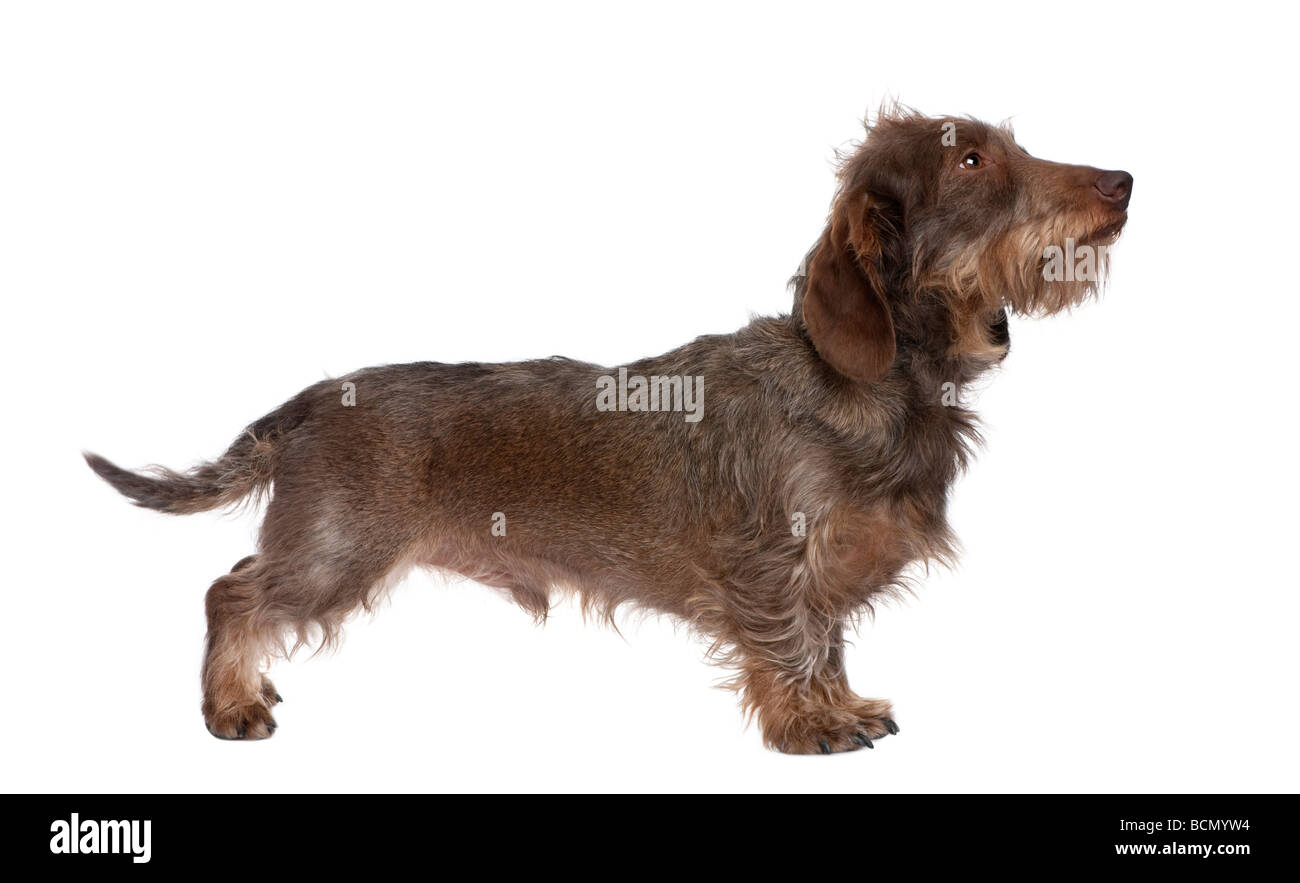 Profile of a Brown Wire haired Dachshund looking up, 3 yeras old, in front of a white background, studio shot - Stock Image